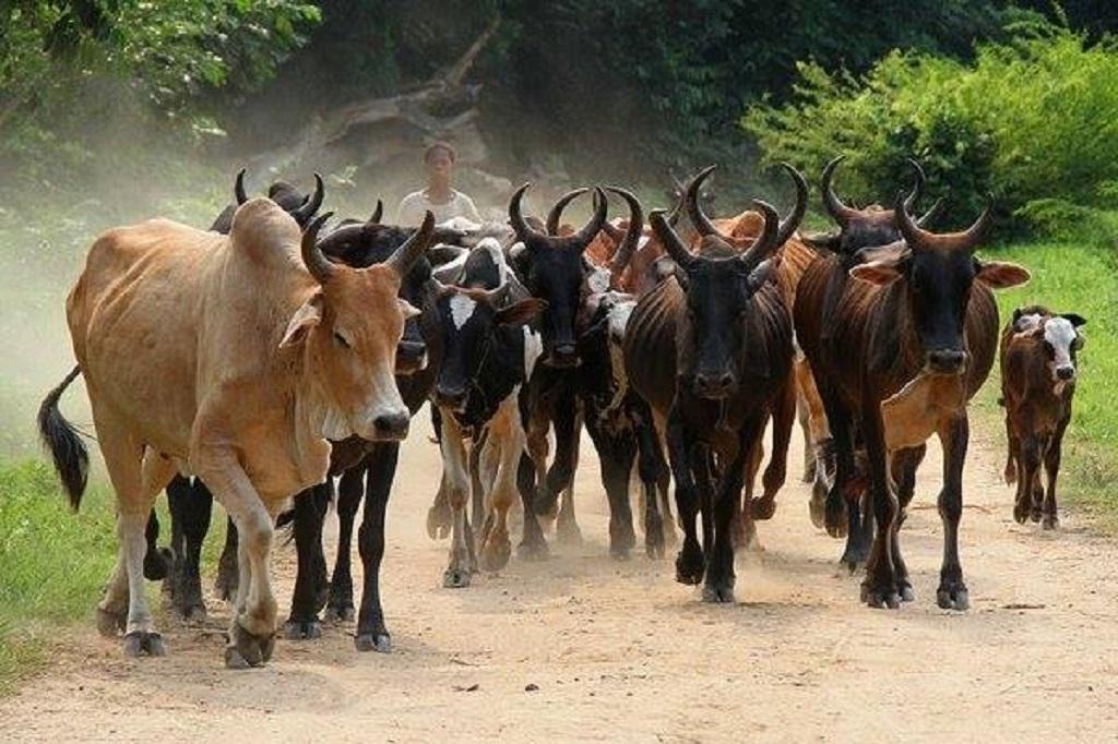 GNOSSOMORIDOU/ BEYLA : SOS aux éleveurs, la chasse aux zébus est engagée.